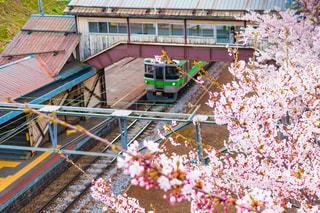 桜と電車と駅のホーム 北海道小樽市JR南小樽駅の写真・画像素材[1141469]