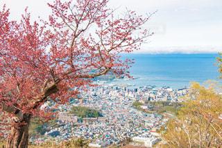 桜と海辺の町 北海道小樽市天狗山山頂の写真・画像素材[1141483]
