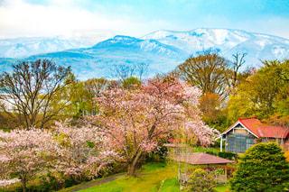 桜と雪山 北海道小樽市手宮公園の写真・画像素材[1141501]