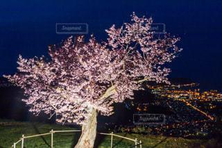 海,春,桜,夜,夜景,海辺,北海道,季節,山,山頂,小樽,眺望,5月,町並み,エゾヤマザクラ,天狗山,天狗桜