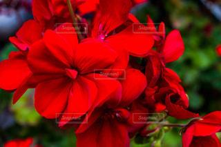 花,春,庭,季節,ガーデニング,赤色,栽培,香り,ゼラニウム