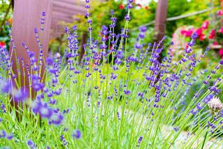 春,庭,季節,ラベンダー,ガーデニング,栽培,香り