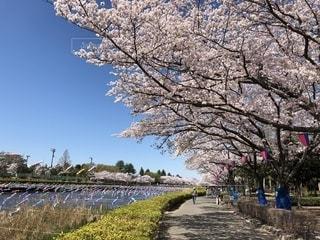 群馬県館林市で見た早咲きのソメイヨシノと菜の花の写真・画像素材[1139180]