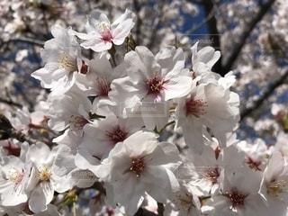 早咲きのソメイヨシノをアップで(群馬県館林市)の写真・画像素材[1139897]