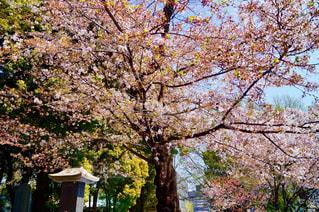 風景,春,桜,東京都,上野公園,春桜