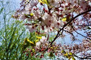 自然,風景,空,花,春,桜,東京,上野公園