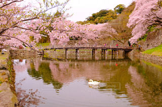 桜,城,白鳥,彦根城,国宝