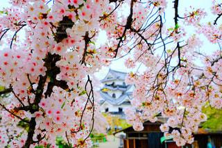 桜,城,彦根城,天守閣,国宝