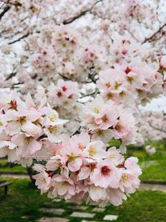 空,花,春,桜,屋外,樹木,兵庫県,猪名川