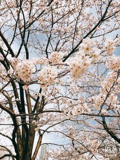 桜,花見,六本木,デート,さくら