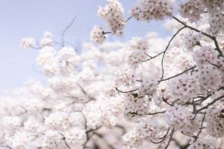 自然,桜,川,水面,花見,景色,愛知県,草木,五条川