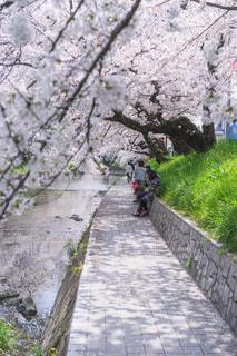自然,桜,川,水面,花見,景色,樹木,道,人,歩道,愛知県,草木,五条川