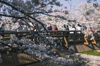 自然,桜,屋外,川,水面,花見,景色,樹木,道,人,歩道,愛知県,草木,山崎川