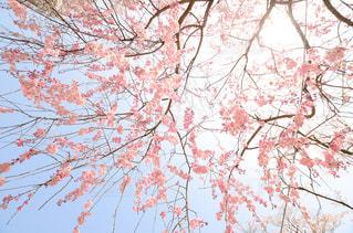 花,桜,ピンク,景色,サクラ,樹木,草木