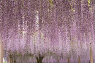 花,花見,藤,藤色,藤棚,愛知県,薄紫,江南の藤