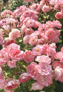 花,ピンク,植物,きれい,バラ,バラ園,桜色,花フェスタ記念公園,四季咲き,可児市,桜霞