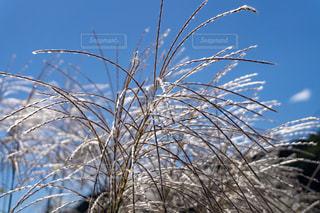 空,秋,植物,青空,背景,ススキ,快晴,天気,秋空,10月,澄んだ空,ススキの穂