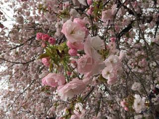 風景,春,桜,木,ピンク,晴天,散歩