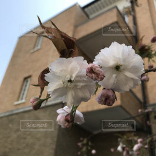 花,春,桜,ピンク,かわいい,きれい,八重桜,美