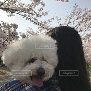 女性,犬,風景,花,春,桜,ピンク,かわいい,景色,黒髪,お花見,人物,人,愛犬,景観,ビションフリーゼ