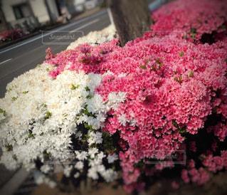 花,春,屋外,散歩,ツツジ,日中,オオムラサキツツジ