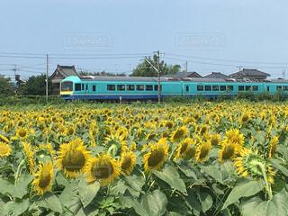 ひまわり,電車,黄色
