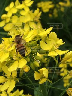 黄色,菜の花,みつばち