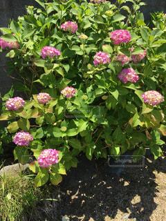 ピンク,紫陽花,梅雨の晴れ間