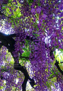 まもなく藤の季節ですの写真・画像素材[1137513]