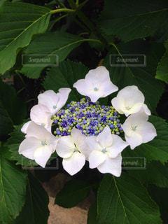 花,屋外,植物,鮮やか,紫陽花,梅雨,ガクアジサイ