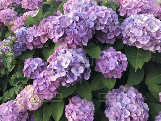 花,雨,屋外,きれい,紫,鮮やか,紫陽花,6月,草木,ライン,アジサイ,美しさ