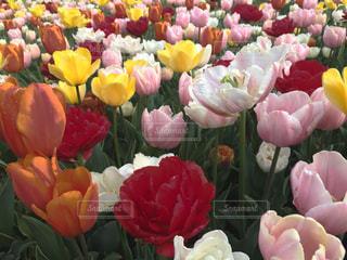 自然,花,春,ピンク,赤,白,チューリップ,オレンジ,新鮮,配置
