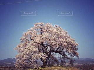 空,春,桜,木,ピンク