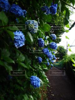 青,紫陽花,涼しげ,梅雨,通り道