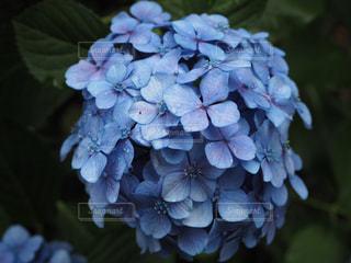 青,水滴,紫陽花,梅雨