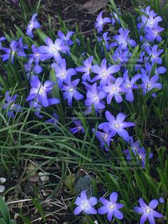 紫の花の写真・画像素材[1140531]