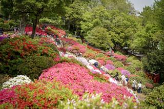 春,赤,鮮やか,東京都,ツツジ,根津神社,日本の風景