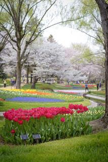 春,桜,お花畑,チューリップ,鮮やか,東京都,昭和記念公園,立川市