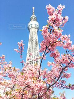 スカイツリーと桜の写真・画像素材[1143048]