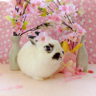 春,桜,動物,うさぎ,ピンク,かわいい,癒し,可愛い,モフモフ,春コーデ