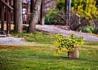 花,黄色,ミモザ,イエロー,大分,大神ファーム