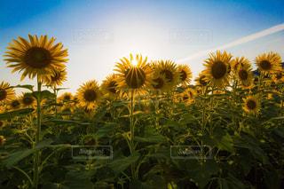 花,ひまわり,黄色,向日葵,ミモザ,イエロー,大分,大神ファーム