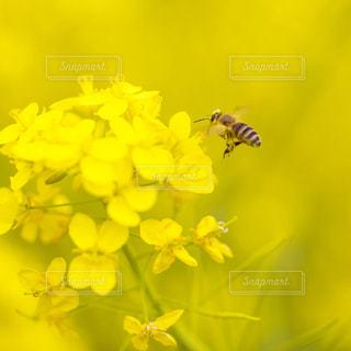 花,春,黄色,菜の花,蜂