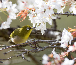 花,春,桜,鳥,ピンク,白,樹木