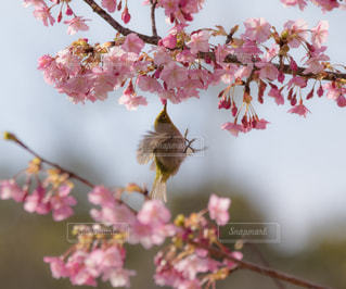 花,春,桜,鳥,白,メジロ