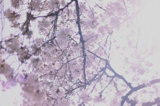 陽光の中の桜の写真・画像素材[1152574]