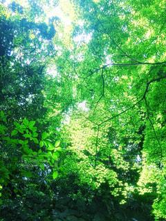 見上げた緑の中での写真・画像素材[1157817]