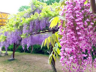 紫とピンクの藤の花の写真・画像素材[1147867]