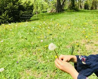 タンポポの綿毛を飛ばして遊ぶ女の子 - No.1166342