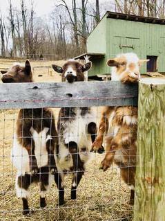 自然,空,冬,木,屋外,アメリカ,小屋,旅行,笑顔,可愛い,柵,キャンプ場,ヤギ,山羊,微笑み,子ヤギ,並んで,納屋,ニュージャージー